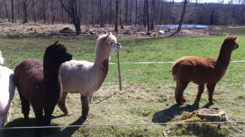 Nyfikna alpackor i Timrilt!