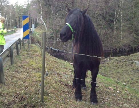 Camilla är lika nyfiken på alla hästar på andra sidan vägen. Hon tycker det är skönt att få komma ut i hagen efter många timmar transport.
