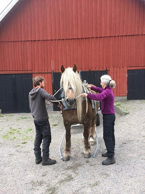 Unna trivs mycket bra hos Bob och Anne. En superfin körhäst är hon.