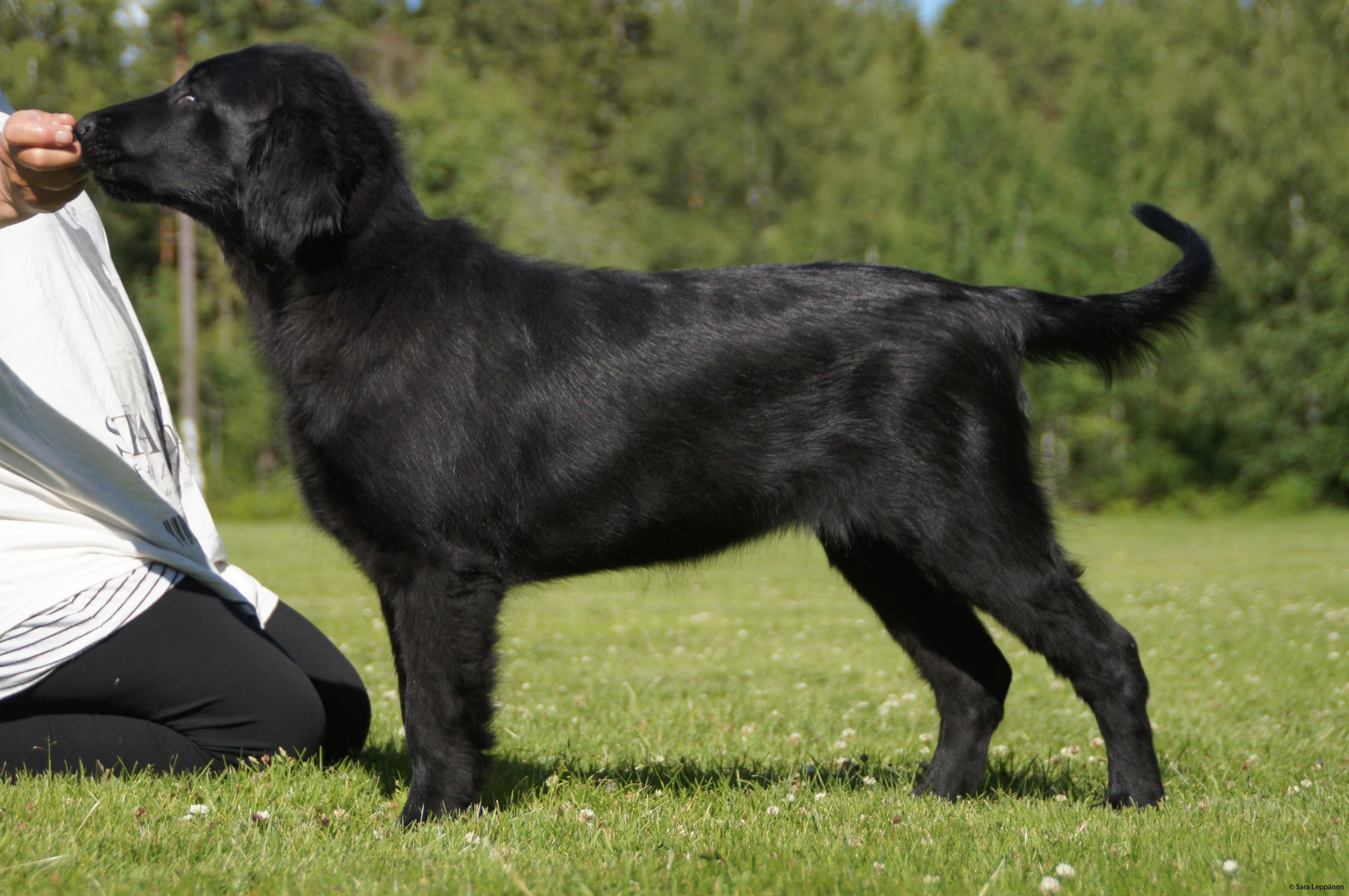flatcoated retriever bära väska