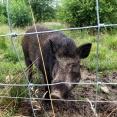 Tama vildsvin som åskådare