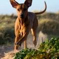Kolla så här ser en Faraohund ut