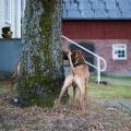 Dexter & Stella leker leken springa runt trädet, Jättekul!