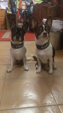 Chihuahua killarna Viggo & Harry med brodyrhalsband i skinn