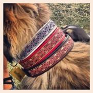 Vacker Provhund med 3 olika Alviska färger, vitt, rött & svart skinn