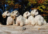 Svirvel, eldsflammor blå, keltiska hundar, Alvisk Lila/Silver