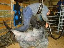 Vår duktige fårklippare Per klär av en tacka smidigt och lätt.