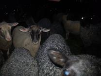 Här är några av dem som bidragit med ullen till garnet.