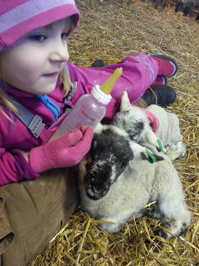 Tindra vilar med lammen när de ätit klart.