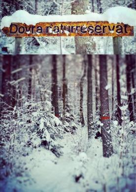 Nu ligger snön tung i Dovra naturreservat, bara ett par kilometer från vårt Undantag, stigen slingrar in mellan träden.