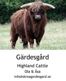Highland Cattle för avel och köttproduktion på Skrea Gärdesgård utanför Halländska Falkenberg