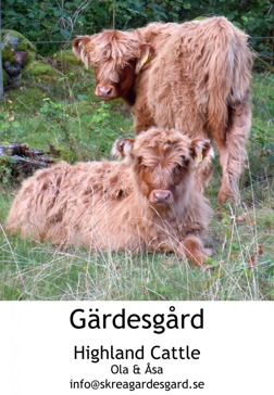 Highland Cattle på Skrea Gärdesgård i Falkenberg. Avel och köttproduktion. på