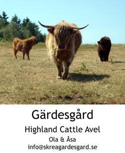 Highland Cattle avelsdjur från besättning med högsta hälsostatus -  Skrea Gärdesgård Falkenberg