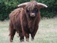 Nötkött av Highland Cattle till försäljning vid beställning av låda från Skrea Gärdesgård utanför FalkenbergCattle