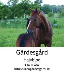 Våra fina halvblod på Skrea Gärdesgård utanför Falkenberg