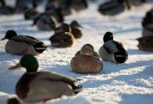 En and är en and är en and...