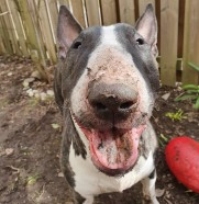Bullterrier Boomer ball