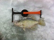 Viktigaste fisken på VM, crappie