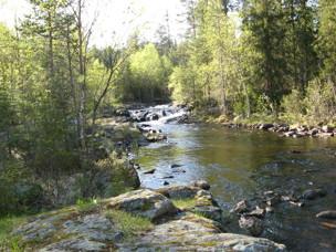 På våren när vattnet har sjunkit till normalt, blir det många kläckningar i snabb följd.