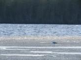 Mås som spanar efter mygg på isresterna på Näcksjön 10/5 - 2018.