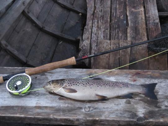 Första på fluga i år, Bålsjön, den 20/5. Den vägde 0,7 kg.