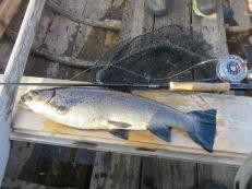 """Öresjön Särna 2018-08-14, 2,1 kg, streamer, """"The Humbug"""". Fiskarna blir feta på abborryngeldieten!"""