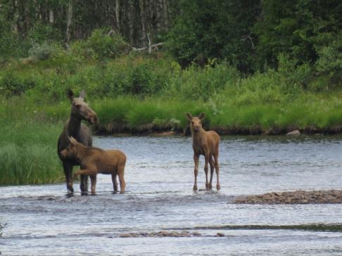 I Idre är det inte långt till de vilda djuren, är man försiktig kan man få se en hel älgfamilj vada över Storån..