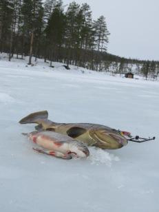 Sparkföre, 42 cm is, och några fiskar på isen (2020-01-18)..