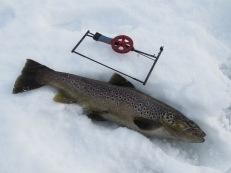 Öring: 1,5 kg, röd liten mormyska, Näcksjön 11/2 - 2020.