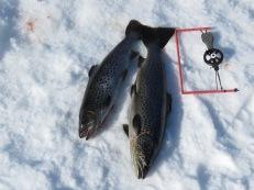 2020-03-21 Flera öringar från Näcksjön 0,87 och 1,34 kg.