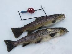 Öringar, tillsammans 2,73 kg, från Näcksjön den 22/3 2020. Den ena hade tydligen suttit på en pirk, men slitit av linan.