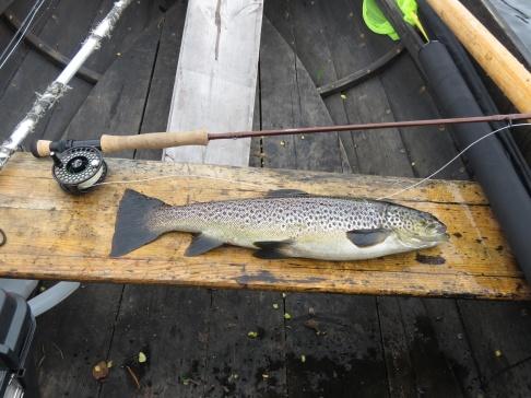 Vulgatakläckning på Näcksjön ger chansen på rejäla öringar, den här tog en Claret Dabbler och vägde 1,6 kg, den 21/6 - 2021.