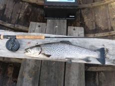 2021-08-22 Öring i kvällningen på Öresjön, 1,73 kg.
