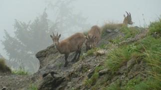 Några gemser utanför Frauenmauerhöhle i närheten av Eisenerz i Österrike (c) Austria Travel - Manfred Rusner
