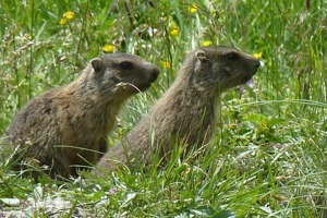 Nyfikna murmeldjur i Weitental © Austria Travel - Rusner