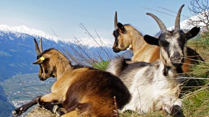 Gemsen eller stengeten - ett vanligt djur i de österrikiska Alperna (Bild: www.zumgourmet.at)