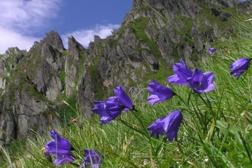 Blåklocka - Glockenblume (Bild: www.landschaftsfotos.at)