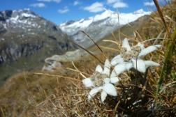 Edelweiss med Grossvenediger (3.662 möh), Österrikes femte högsta topp i bakgrunden (Bild: www.islitzer.at)