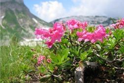 Hårig alpros - behaarte Alpenrose