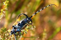 Alpbocken är en sällsynt och vacker insekt i de österrikiska Alperna.