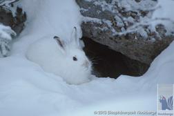 Med vinterpäls är alpsnöharen nästan osynlig!