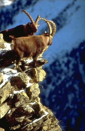 Alpstenbockar på hög höjd med sina imponerande horn.