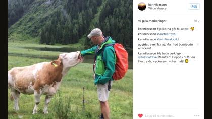 Artikelförfattaren (=Manfred) kämpar med en ko. Observera regnskyddet och slangen från vätskesystemet.  Fotot är från en endagarsvandring men ryggan är för flerdagarsvandring då vi skulle ut på en långtur senare. Du ser att vikten är låg och att jag inte har stavar med mig.