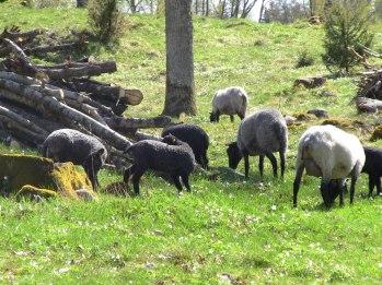 Tackor med lamm på vårbete