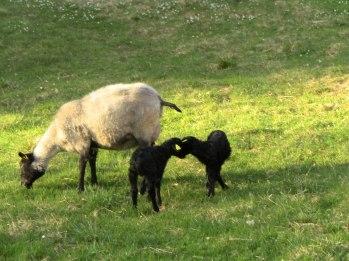 nyfödda lamm på tidigt bete