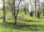 Gotlandsfåren  bland odlings- och gravrösen