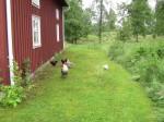 Hönorna gör stor nytta i trädgården