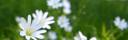 Vita ängsblommor