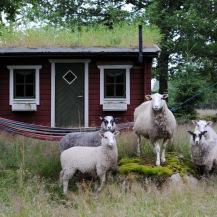 Stugan ligger mitt i en naturhage där fåren ibland betar