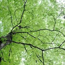 Trädkrona löv